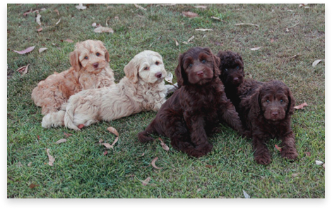 Photo - 5 Labradoodle Puppies - sent to QLD, NSW and VIC